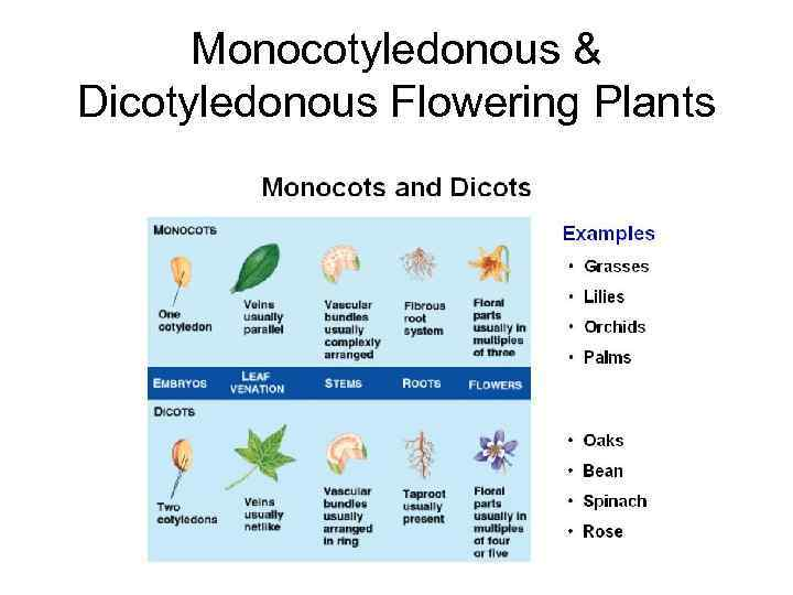 Monocotyledonous & Dicotyledonous Flowering Plants