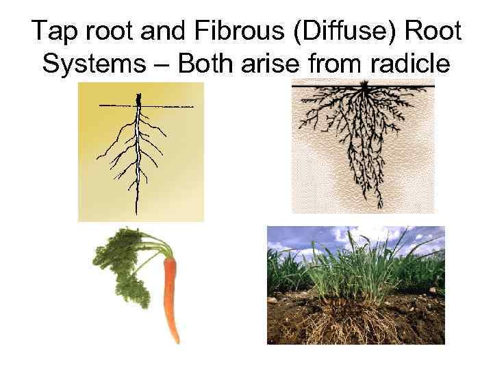 Tap root and Fibrous (Diffuse) Root Systems – Both arise from radicle