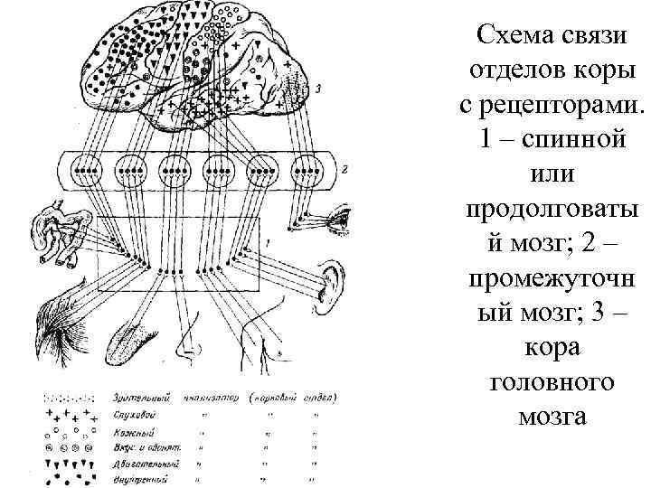 Схема связи отделов коры с рецепторами. 1 – спинной или продолговаты й мозг; 2