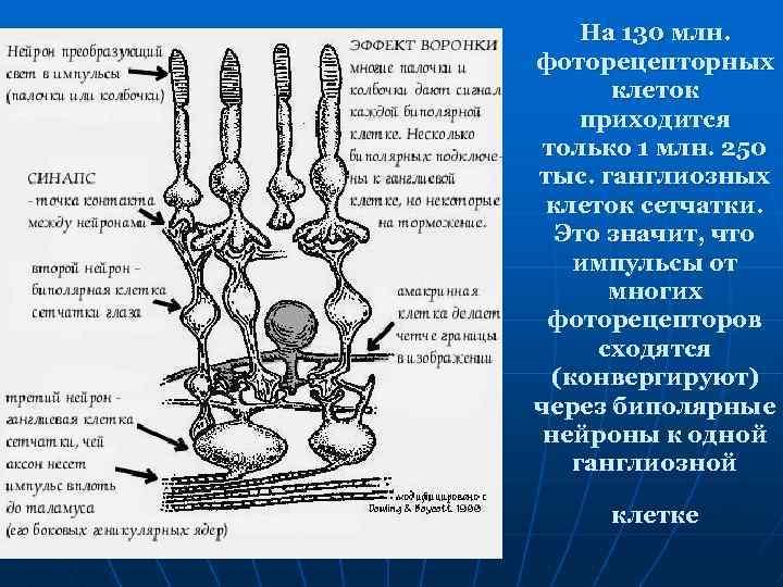 На 130 млн. фоторецепторных клеток приходится только 1 млн. 250 тыс. ганглиозных клеток сетчатки.