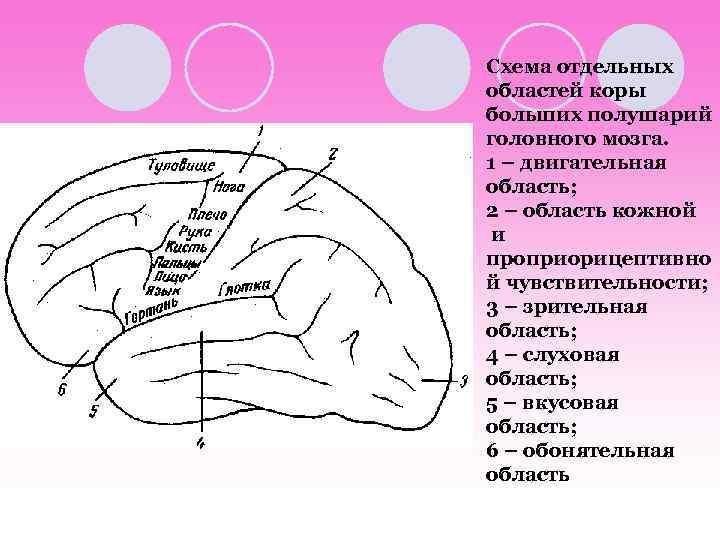 Схема отдельных областей коры больших полушарий головного мозга. 1 – двигательная область; 2 –