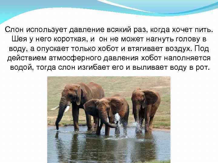 Слон использует давление всякий раз, когда хочет пить. Шея у него короткая, и он