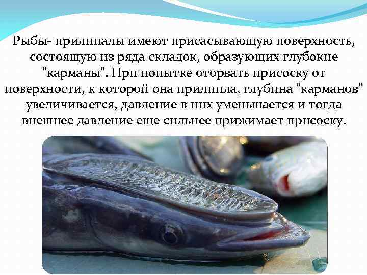 Рыбы- прилипалы имеют присасывающую поверхность, состоящую из ряда складок, образующих глубокие