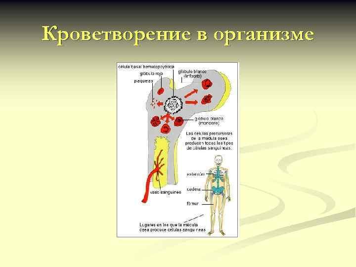 Кроветворение в организме