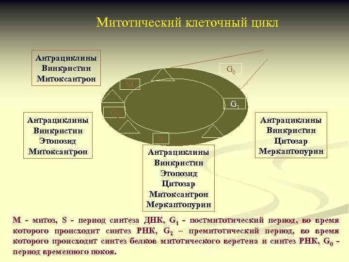 Митотический клеточный цикл Антрациклины Винкристин Митоксантрон Антрациклины Винкристин Этопозид Митоксантрон G 0 М G