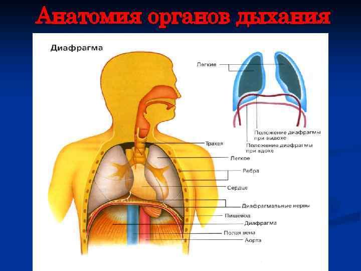 Анатомия органов дыхания