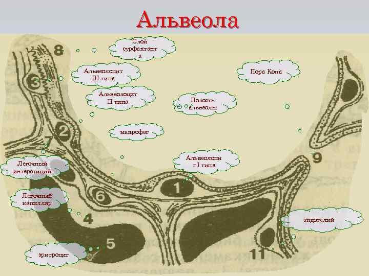 Альвеола Слой сурфактант а Альвеолоцит III типа Альвеолоцит II типа Пора Кона Полость альвеолы