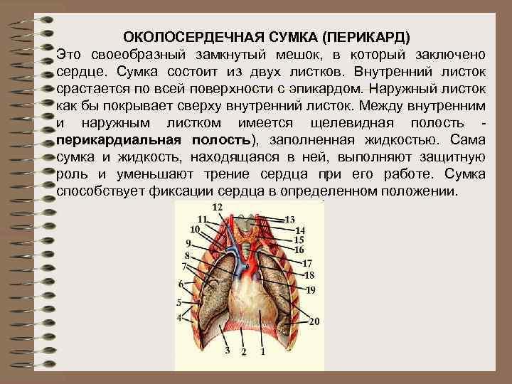 ОКОЛОСЕРДЕЧНАЯ СУМКА (ПЕРИКАРД) Это своеобразный замкнутый мешок, в который заключено сердце. Сумка состоит из