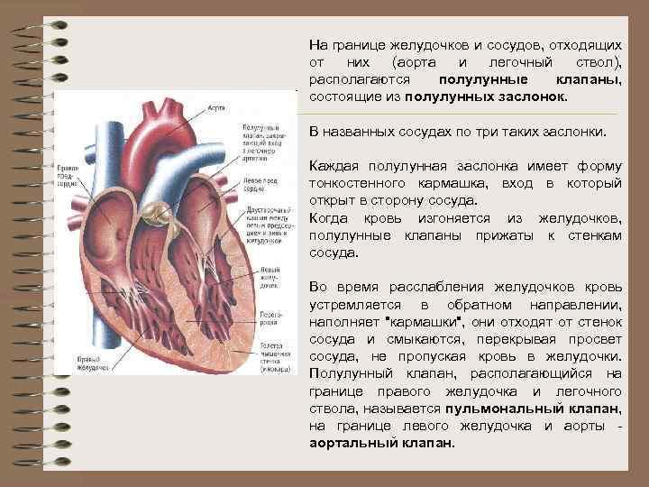 На границе желудочков и сосудов, отходящих от них (аорта и легочный ствол), располагаются полулунные
