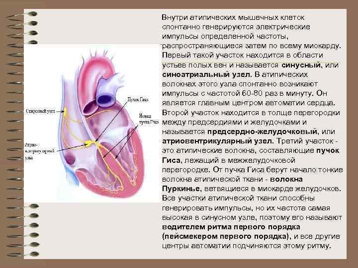 Внутри атипических мышечных клеток спонтанно генерируются электрические импульсы определенной частоты, распространяющиеся затем по