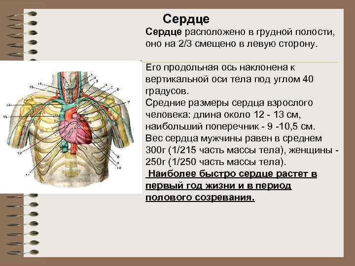 Сердце расположено в грудной полости, оно на 2/3 смещено в левую сторону. Его продольная