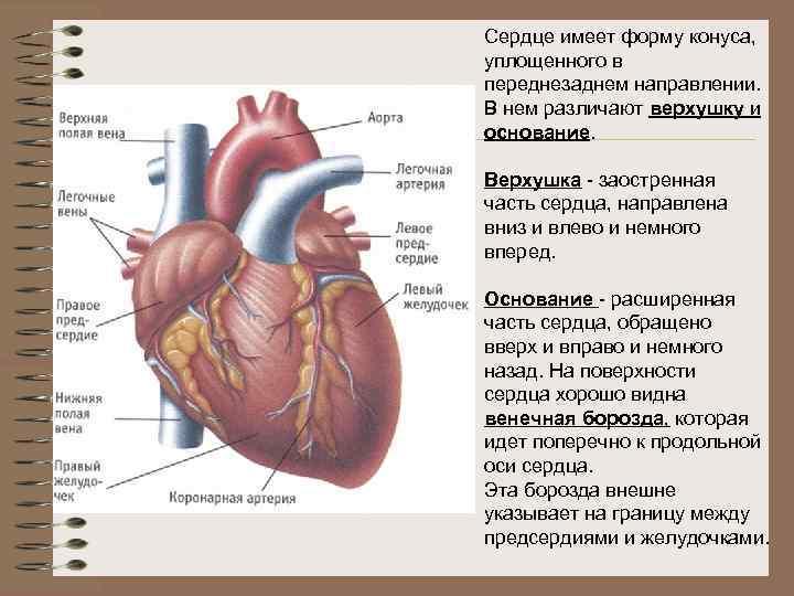 Сердце имеет форму конуса, уплощенного в переднезаднем направлении. В нем различают верхушку и основание.