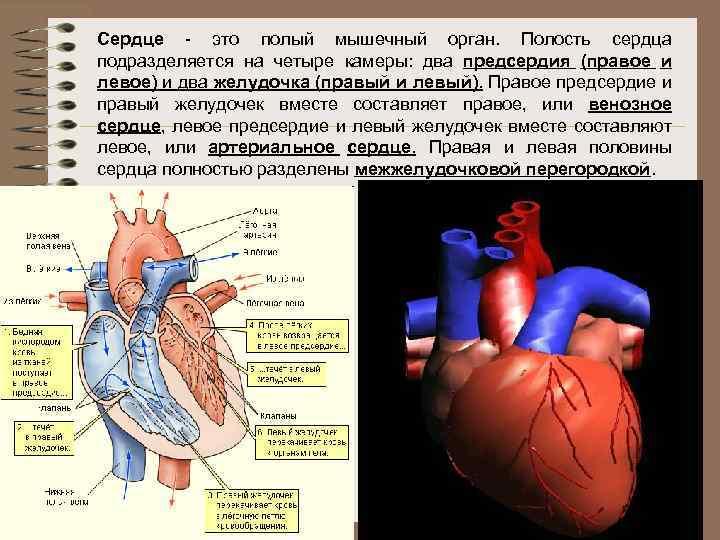Сердце - это полый мышечный орган. Полость сердца подразделяется на четыре камеры: два предсердия
