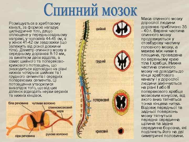Розміщується в хребтовому каналі, за формою нагадує циліндричне тіло, дещо сплющене у передньозадньому напрямі,