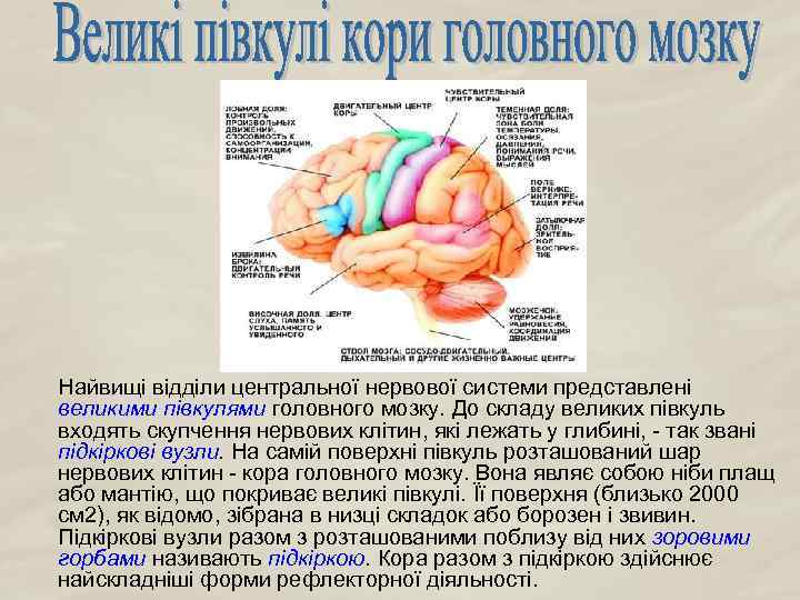 Найвищі відділи центральної нервової системи представлені великими півкулями головного мозку. До складу великих півкуль
