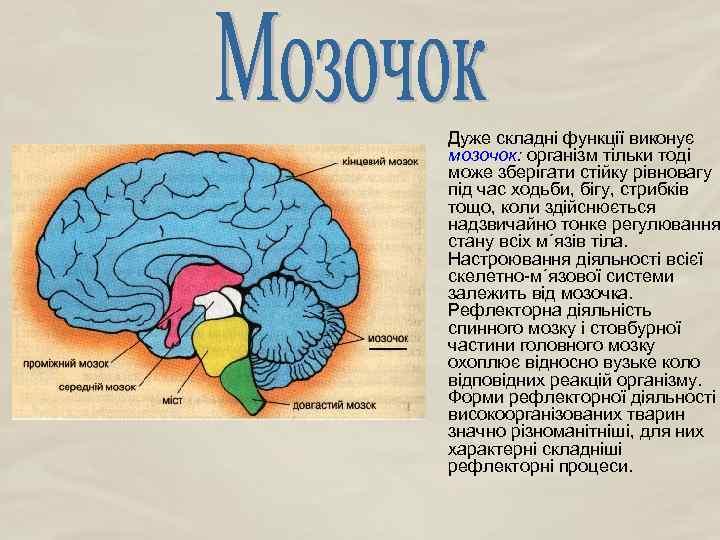 Дуже складні функції виконує мозочок: організм тільки тоді може зберігати стійку рівновагу під час