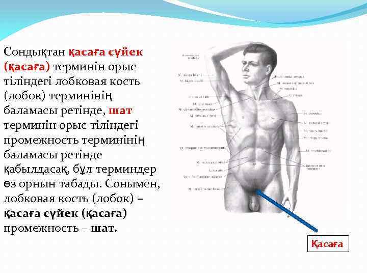 Сондықтан қасаға сүйек (қасаға) терминін орыс тіліндегі лобковая кость (лобок) терминінің баламасы ретінде, шат