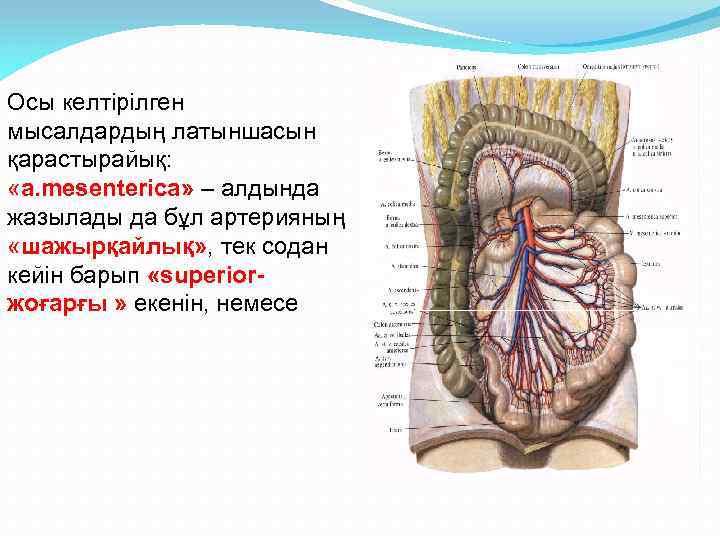 Осы келтірілген мысалдардың латыншасын қарастырайық: «а. mesenterica» – алдында жазылады да бұл артерияның «шажырқайлық»