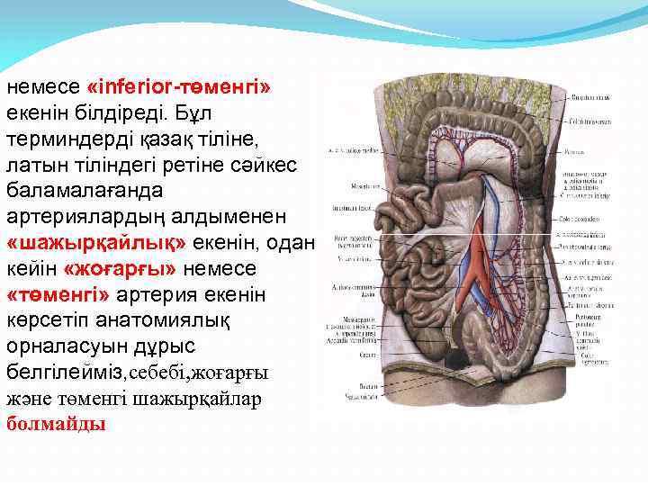 немесе «inferior-төменгі» екенін білдіреді. Бұл терминдерді қазақ тіліне, латын тіліндегі ретіне сәйкес баламалағанда артериялардың