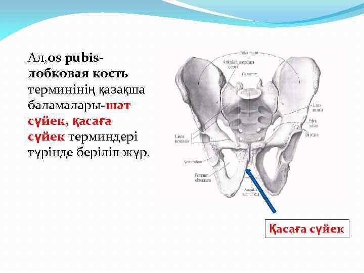 Ал, os pubisлобковая кость терминінің қазақша баламалары-шат сүйек, қасаға сүйек терминдері түрінде беріліп жүр.