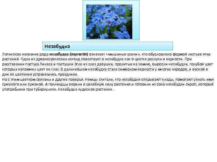 Незабудка Латинское название рода незабудка (myosotis) означает «мышиные усики» , что обусловлено формой листьев