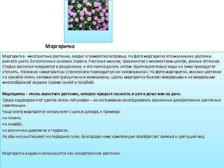 Маргаритка - многолетние растение, входит в семейство астровых. На фото маргаритка это маленькие цветочки