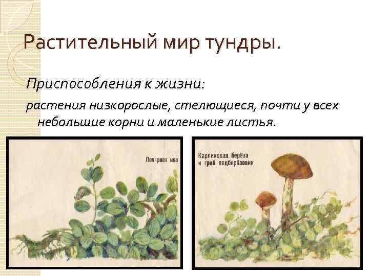 Растительный мир тундры. Приспособления к жизни: растения низкорослые, стелющиеся, почти у всех небольшие корни