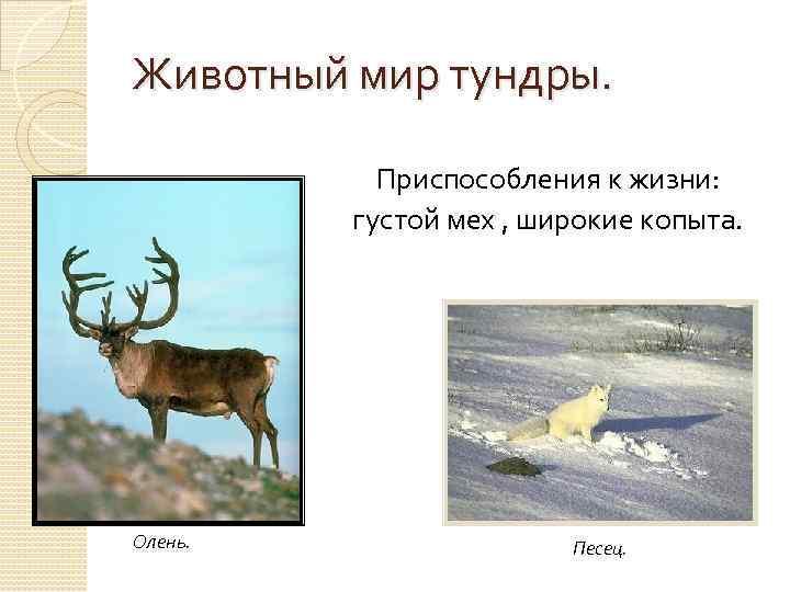 Животный мир тундры. Приспособления к жизни: густой мех , широкие копыта. Олень. Песец.