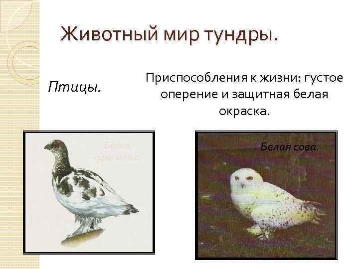 Животный мир тундры. Птицы. Белая куропатка. Приспособления к жизни: густое оперение и защитная белая