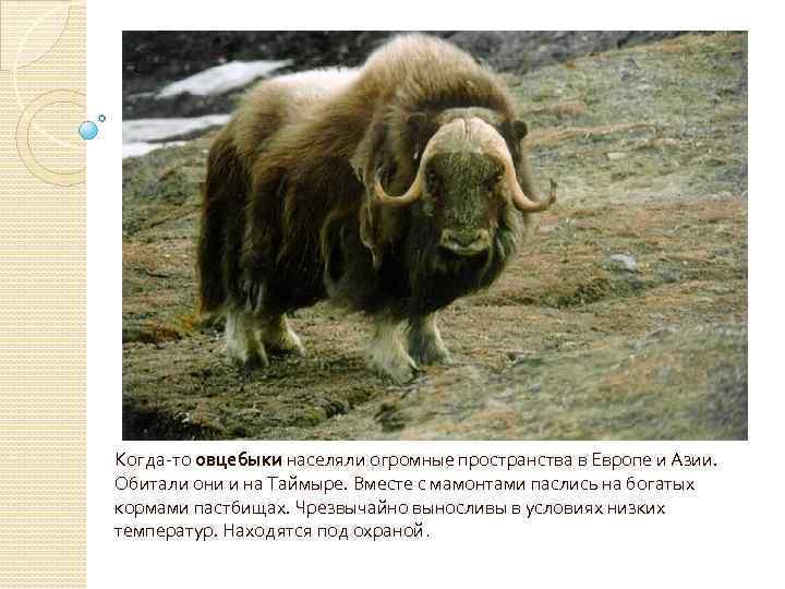 Когда-то овцебыки населяли огромные пространства в Европе и Азии. Обитали они и на Таймыре.