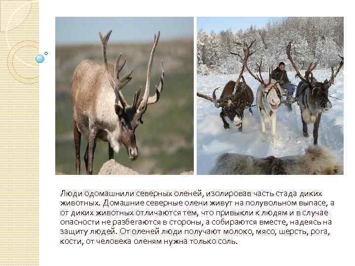 Люди одомашнили северных оленей, изолировав часть стада диких животных. Домашние северные олени живут на