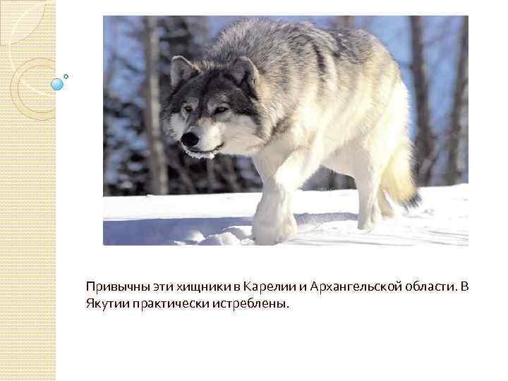 Привычны эти хищники в Карелии и Архангельской области. В Якутии практически истреблены.