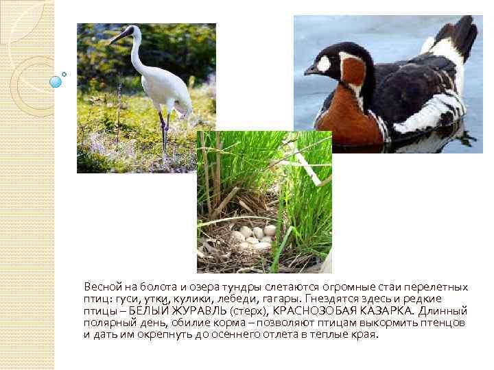 Весной на болота и озера тундры слетаются огромные стаи перелетных птиц: гуси, утки, кулики,