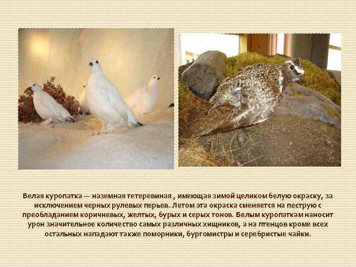 Белая куропатка — наземная тетеревиная , имеющая зимой целиком белую окраску, за исключением черных