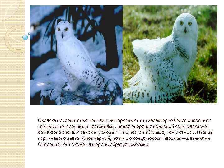 Окраска покровительственная: для взрослых птиц характерно белое оперение с тёмными поперечными пестринами. Белое оперение