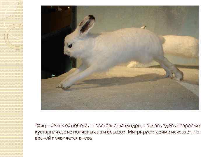 Заяц – беляк облюбовал пространства тундры, прячась здесь в зарослях кустарничков из полярных ив