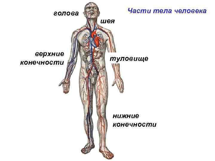 голова верхние конечности Части тела человека шея туловище нижние конечности