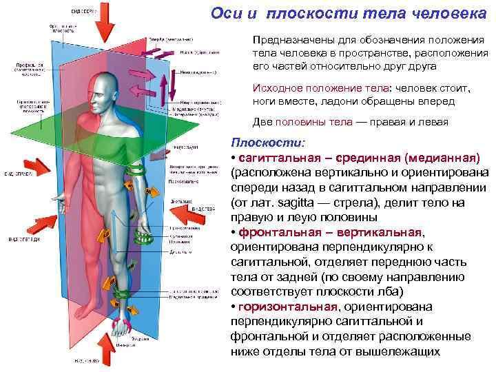 Оси и плоскости тела человека Предназначены для обозначения положения тела человека в пространстве, расположения