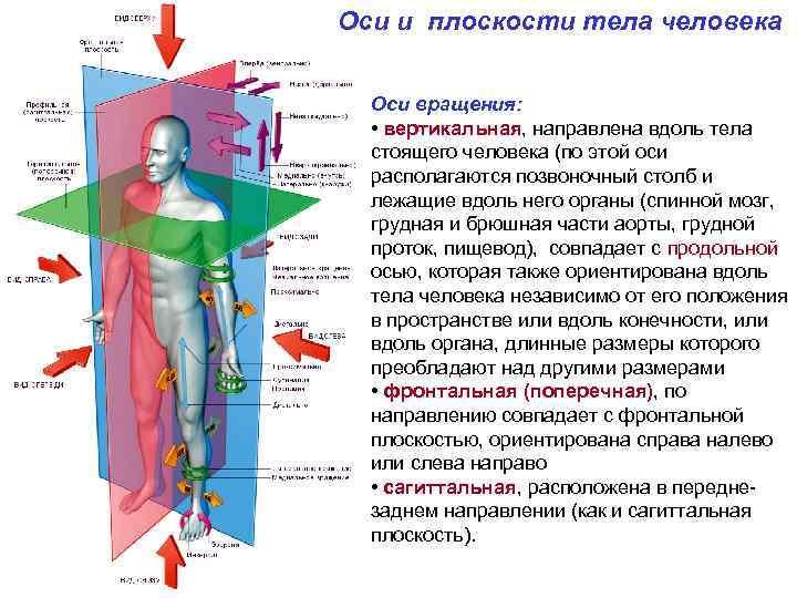 Оси и плоскости тела человека Оси вращения: • вертикальная, направлена вдоль тела стоящего человека