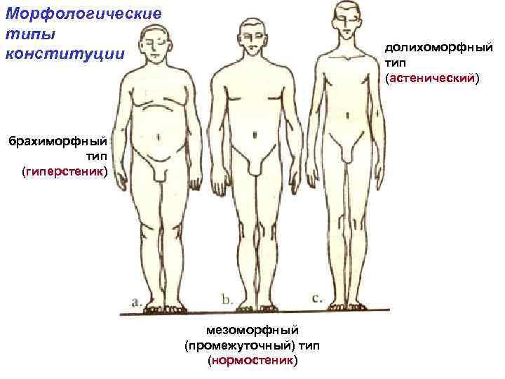 Морфологические типы конституции долихоморфный тип (астенический) брахиморфный тип (гиперстеник) мезоморфный (промежуточный) тип (нормостеник)