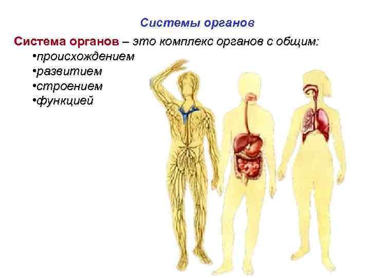 Системы органов Система органов – это комплекс органов с общим: • происхождением • развитием
