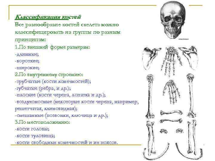 Классификация костей Все разнообразие костей скелета можно классифицировать на группы по разным принципам: 1.