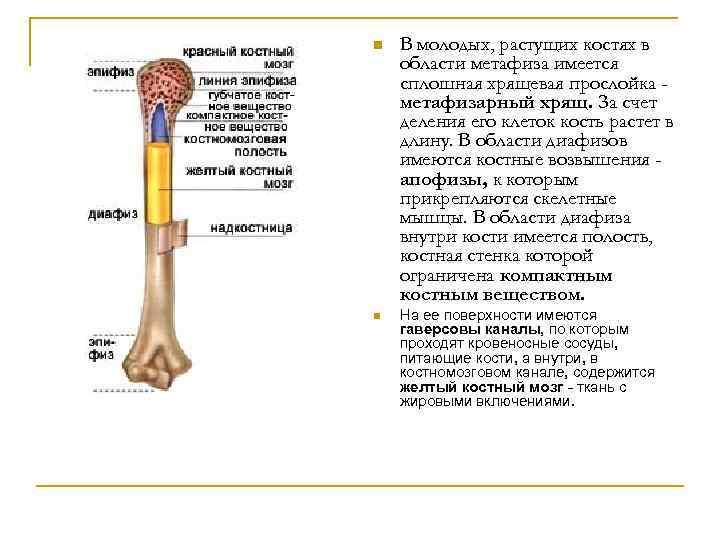 n В молодых, растущих костях в области метафиза имеется сплошная хрящевая прослойка метафизарный хрящ.