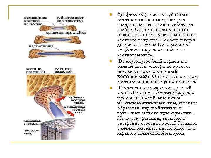 n n n Диафизы образованы губчатым костным веществом, которое содержит многочисленные мелкие ячейки. С