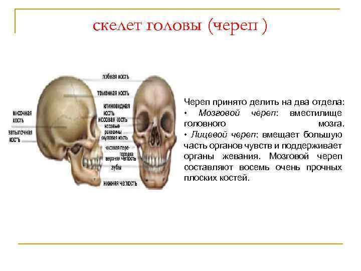 скелет головы (череп ) Череп принято делить на два отдела: • Мозговой череп: вместилище