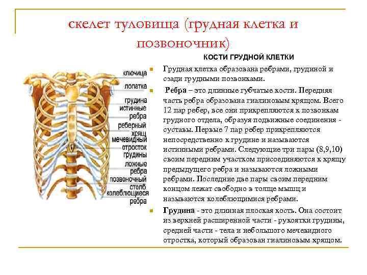 скелет туловища (грудная клетка и позвоночник) КОСТИ ГРУДНОЙ КЛЕТКИ n n n Грудная клетка