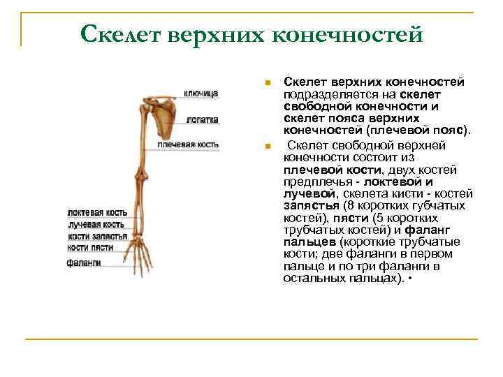 Скелет верхних конечностей n n Скелет верхних конечностей подразделяется на скелет свободной конечности и