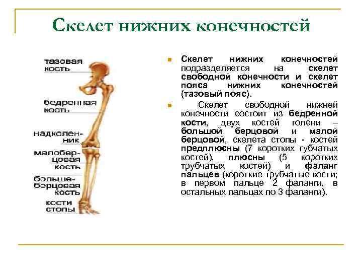 Скелет нижних конечностей n n Скелет нижних конечностей подразделяется на скелет свободной конечности и