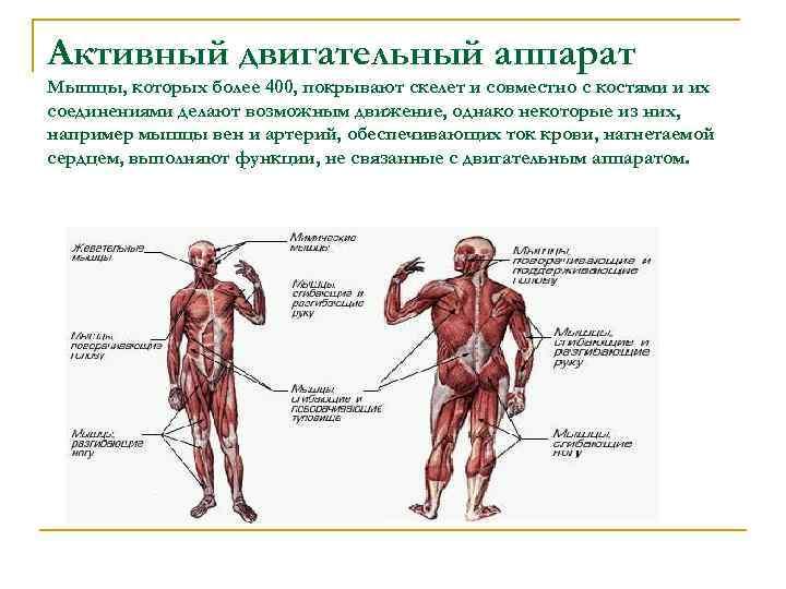 Активный двигательный аппарат Мышцы, которых более 400, покрывают скелет и совместно с костями и