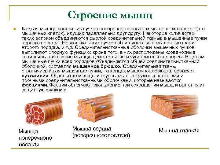 Строение мышц n Каждая мышца состоит из пучков поперечно полосатых мышечных волокон (т. е.